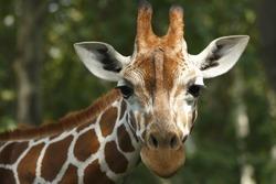 Closeup view of a giraffe face