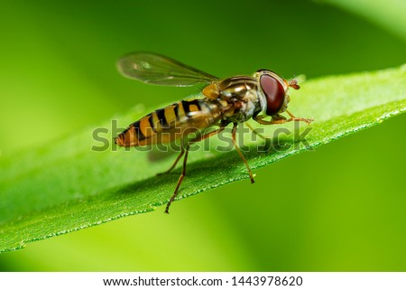 closeup view of a hoverfly - family Syrphidae Stockfoto ©
