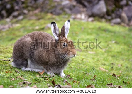 Closeup view of a Mountain Hare (Lepus timidus) - stock photo