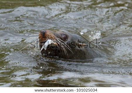 Closeup view of a sea lion in the water