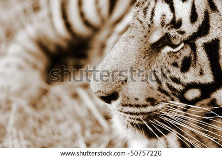 Closeup view of a Tiger from the side view
