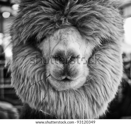 Closeup view of a well-manicured alpaca, with its eyes covered by its mane.  Converted to black and white and in a square format.