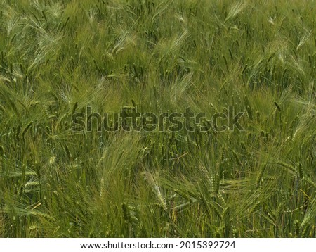 Closeup view of agricultural grain field with barley plants (hordeum vulgare) with green colored pattern in summer season in Swabian Alb, Germany. Focus on ears in center. Imagine de stoc ©