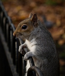 Closeup view of an eastern gray grey squirrel sciurus carolinensis in St James Hyde Park London England Great Britain UK