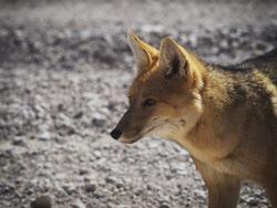Closeup view of Andean fox culpeo lycalopex culpaeus wildlife animal in Bolivia Chile Atacama desert Andes mountains South America