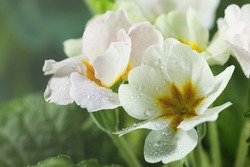 Closeup view of beautiful blooming flowers with dew drops