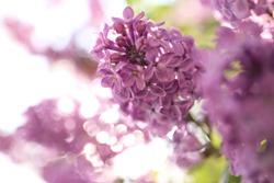 Closeup view of beautiful blossoming lilac shrub outdoors