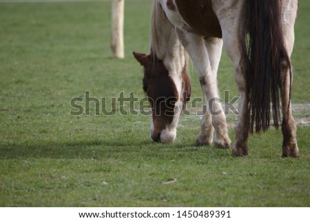 Closeup view of Beautiful brown pinto horse eating grass on green field in summertime #1450489391