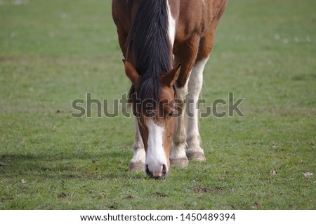 Closeup view of Beautiful brown pinto horse eating grass on green field in summertime #1450489394