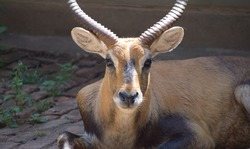 Closeup view of beautiful impala, big horned impala, impala deer, brown impalas face with big long horn, super cute impala birds face with innocent eyes and ears is resting in the door step at urban