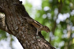 Closeup view of beautiful squirrel in nature, shouting squirrel on the wild tree, screaming and barking squirrel animal to partner of squirrels. noise of squirrels in nature, squeaks, barks, grunts