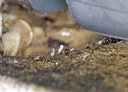 Closeup view of black garden ant