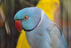 Closeup view of Blue Alexandrine parakeet (Psittacula krameri, family: Psittaculidae), blue parrot with a red beak