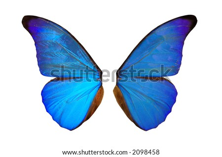 Closeup view of blue butterfly wings  isolated on a white background