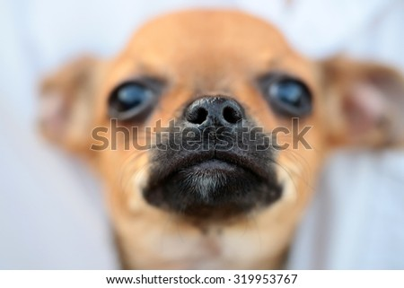 Closeup view of cute beautiful little dog smallest breed in world of mexican origin chihuahua or toy-terrier brown color with black nose and whiskers in front on blur background, horizontal picture