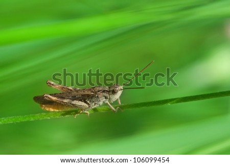 Closeup view of grasshopper on green background