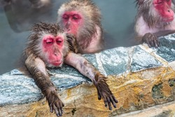 Closeup view of Japanese snow monkey onsen (macaques) in the pool in winter