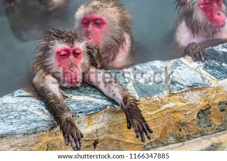 Closeup view of Japanese snow monkey onsen (macaques) in the pool in winter #1166347885