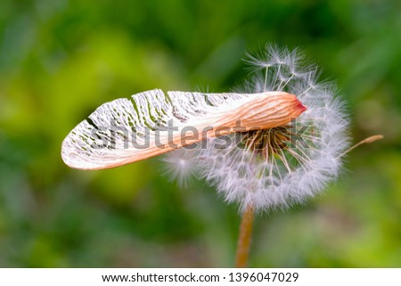 closeup view of maple seed and dandelion seed on green color bokeh background, Maple seed on dandelion seed, sping and autumn image