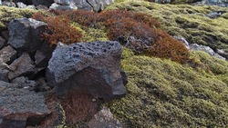 Closeup view of moss covered lava field with porous volcanic rock and red plants near Gridavik, Reykjanes peninsula, Iceland in winter season. Focus on big igneous rock on center-right.