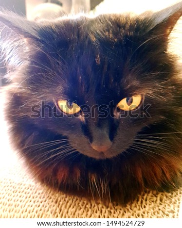 Closeup view of my fluffy tortoisell cat Ooshi. With her beautiful eyes and fluffiness she is perfect for websites. blogs. ezines and more  #1494524729