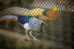 closeup view of pair of big golden pheasant in large closed birdcage in national zoological park
