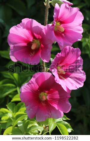 Closeup view of some pinkish Hollyhock flowers over a dark  background.