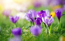 Closeup view of the spring flowers in the park. Crocus blossom on beautiful morning with sunlight in the forest in april