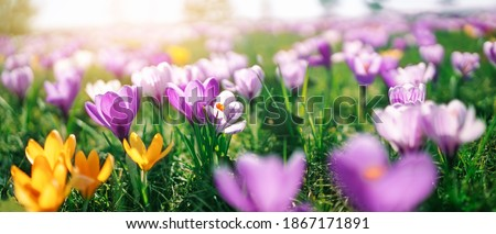 Closeup view of the spring flowers in the park. Crocus blossom on beautiful morning with sunlight in the forest in april Сток-фото ©