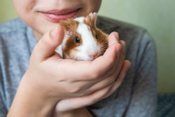 Closeup view of two cute small baby guinea pigs of several weeks old and cute happy smiling white kid laying in bed at home playing with his pets. Horizontal color photography.