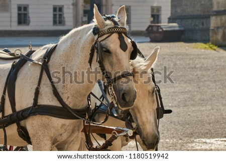 Closeup view of two white cart horses in Salzburg, Austria.