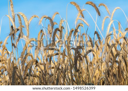 Closeup view of wheat field. Field of wheat