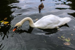 Closeup view of white swan swimming and looking for food in a dark green pond, dendrological park