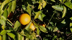 Closeup view of yellow colored ripe lemon fruits and green leaves on trees in the courtyard garden of historic El Badi Palace in the old center (Medina) of Marrakesh, Morocco.