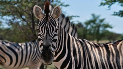 Closeup view on face and back of striped plains zebra (equus quagga, formerly equus burchellii, also common zebra) with another zebra in background in Kalahari desert, Etosha National Park, Namibia.