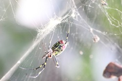 Closeup view with selective focus on a giant Spider and spider webs with blurred green jungle background