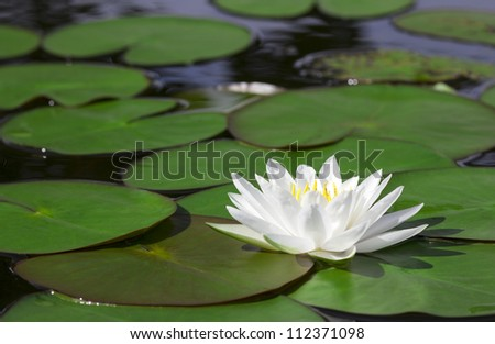 closeup white lotus flower in...