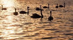 closeup white Swan group, beautiful waterfowl swans in spring, large birds at sunset or sunrise in the sun, orange color