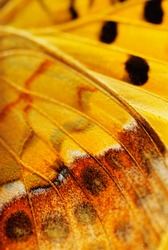 Closeup wings of butterfly with black veined
