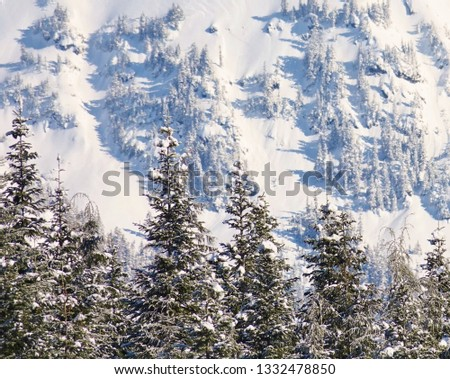 Closeup winter in the mountains. Line of evergreen tree tops with snowy branches in lower foreground and heavy snow plastered on the evergreens and mountain slope in background. Cascade Mountains WA. #1332478850