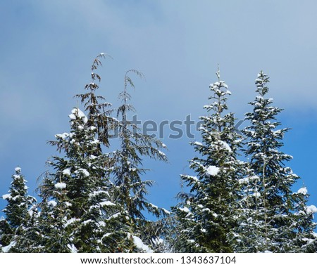 Closeup winter scene in WA state national forest. Small group of evergreen tree tops with snowy branches and blue sky thin white cloud background in Cascade Mountains on nice day following snowfall.  #1343637104