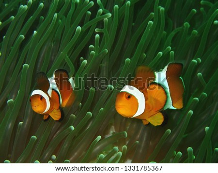 Closeup with anemone fish or western clown fish in underwater world diving in Borneo. Sabah. #1331785367