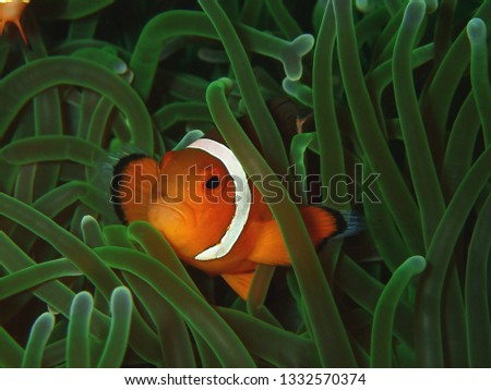 Closeup with anemone fish or western clown fish in underwater world diving in Borneo. Sabah.         #1332570374