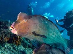 Closeup with school of Green humphead parrotfish during a leisure dive in Barracuda Point, Sipadan Island, Semporna, Tawau, Sabah. Malaysia. Borneo. The Land Below The Wind.