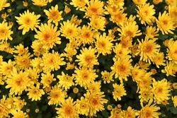 Closeup yellow chrysanthemum flowers blooming.