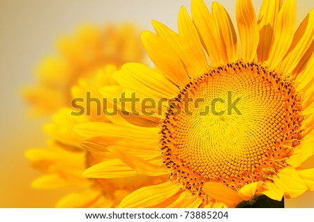 Closeup yellow sunflower petal