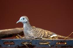 Closeup Zebra Dove, Geopelia striata bird in the nest