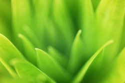 Closeup zoom view of nature green leaves in home garden on blurred greenery background with soft sunlight, low contrast. Good for organic product concept or minimalist wallpaper