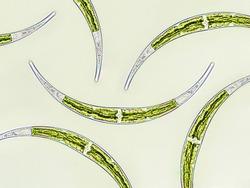Closterium sp. Charophyta algae under microscopic view x40, Green algae