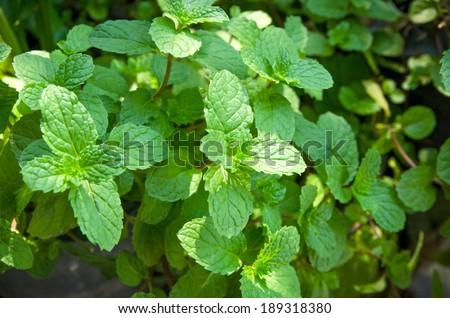 closup growing mint fresh herb